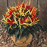Pepper Ornamental Medusa 100 seeds