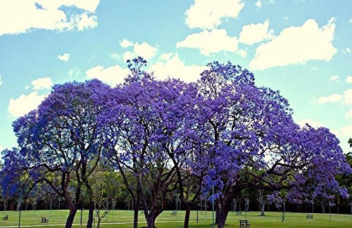- JACARANDA CUSPIDIFOLIA, BLUE rare flowering trumpet tree flamboyan seed 10 seeds