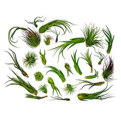 (50 Air Plants Bulk | Live Tillandsia Plant Lot | Bulk Wedding Favors | DIY Party Gift | Air Succulents Set | Box Wholesale Lots by Plants for Pets)