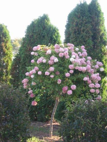 1 Pink Diamond Hydrangea Paniculata - Beautiful Live Plant