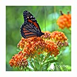 Perennial: BUTTERFLY MILKWEED, 20 Seeds - Attracts Butterflies, Very Fragrant, Colorful, Beauty, Easy To Grow - High Germination, Fresh Seed
