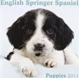English Springer Spaniel Puppies M (Mini)