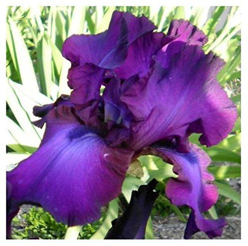 1 Gypsy Romance Tall Bearded Award Winning Iris Rhizome - Bearded Iris Flower