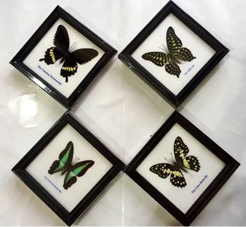 Collectable Framed (REAL MIXS 4 BUTTERFLIES DISPLAY INSECT TAXIDERMY IN FRAMED FOR COLLECTIBLES)
