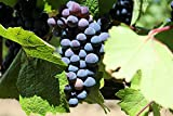 buy Baco Noir Wine Grape Vine - Plantable Year-Round now, new 2020-2019 bestseller, review and Photo, best price $4.50