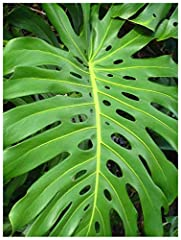 ExoticaTropicals.com specializes in rare and unusual plants that are easy to grow. This rare plant offers an exotic jungle look that will add life to any decor. Detailed Growing Instructions Included.