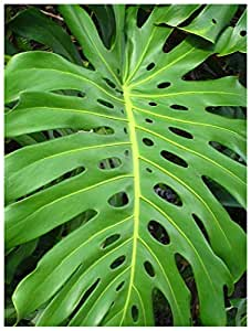 Amazon Monstera DeliciosaSwiss Cheese Plant NICE SIZED LIVE