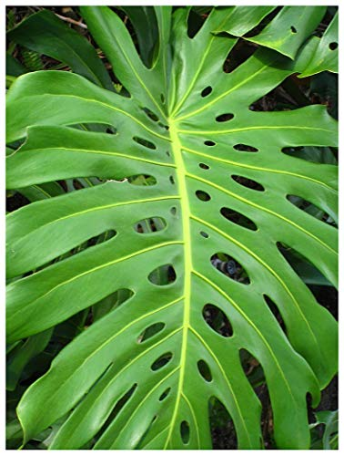 Monstera deliciosaSwiss Cheese Plant NICE SIZED LIVE PLANT Easy to Grow Edible Fruit Tropical Houseplant or Outdoors