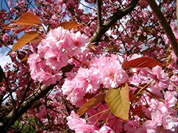 Japanese Flowering Cherry Prunus Kanzan In A 5l Pot Large