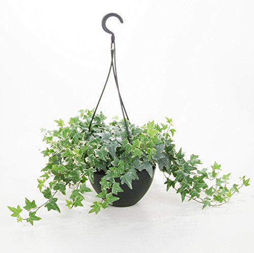 (SEEDS ONLY) English Ivy Hedera Helix 25 Seeds Air Purification Plant