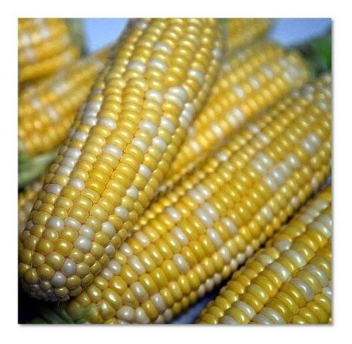 50+ - 50 LB Peaches and Cream MID Bicolor Sweet Corn - Non-GMO Heirloom (5 lb Seeds)