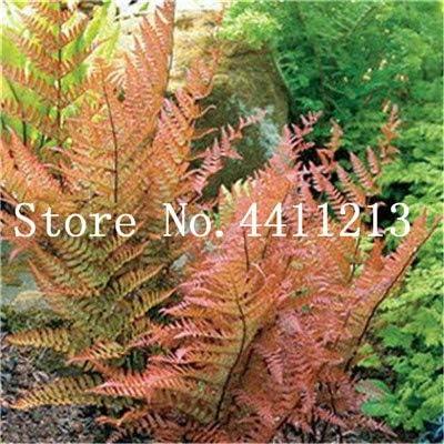 Bloom Green Co. Bonsai 100 Unids Raras Bonsai Colores Mezclados Helecho Plantas de Hierbas Perennes Bonsai Maceta Planta de Interior Para Huerto Fácil Crecer: 7