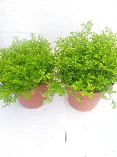*Two Frosty Fern Spike Moss - Selaginella - Easy to Grow - 2.5