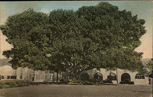 - Moreton Bay Fig Tree on Southern Pacific Station Grounds Santa Barbara, California Original Vintage Postcard
