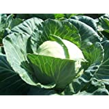 David's Garden Seeds Cabbage Dutch D22101 (Green) 200 Organic Seeds