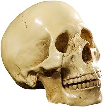 Mod/èle De Cr/âne Humain pour Lanatomie Grandeur Nature R/éplique De Cr/âne Humain 1 1 R/ésine Statue Tra/çage Anatomique M/édical Enseignement Squelette D/écoration Dhalloween Cadeau