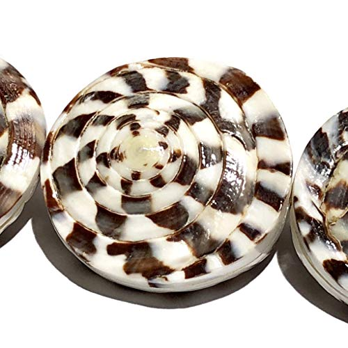 [ABCgems] Conus Capitaneus Head Oyster Shells (Salt-Water Sea Snails) 20mm Double-Sided Coin Beads for Jewelry Making