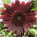 15 Chocolate Cherry Sunflower Seeds Many Heliantus Ornamental Garden Flower Sun