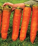 buy Carrot Giant Seeds Red Vegetable for Planting Giant Non GMO 2000 Seeds now, new 2019-2018 bestseller, review and Photo, best price $6.98