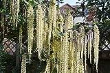 Garrya ellitptica James Roof - Silk Tassle Bush, Plant in 9cm Pot