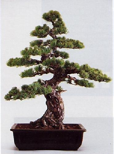8 opinioni per Tropica- Bonsai- pino bianco (Pinus parviflora)- 12 semi