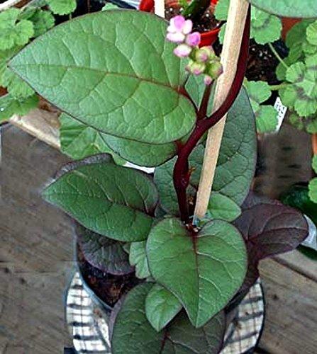 Malabar Red Spinach Plants Ornamental