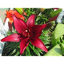 Red Lilies grow from Bulbs.: Lilium