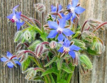 Davids Garden Seeds Herb Borage SL9124 (Multi) 200 Non-GMO, Heirloom, Seeds