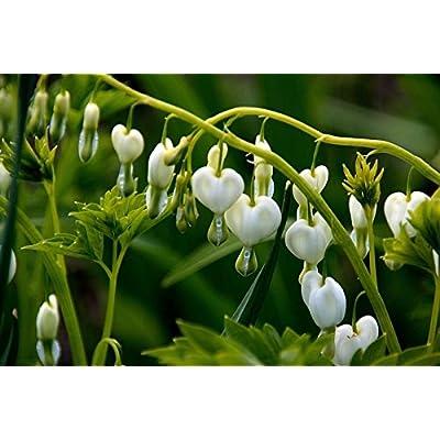 Dicentra spectablis 'Alba'Seeds, White Bleeding Heart, ( 10 Seeds) Rare Flowers : Garden & Outdoor