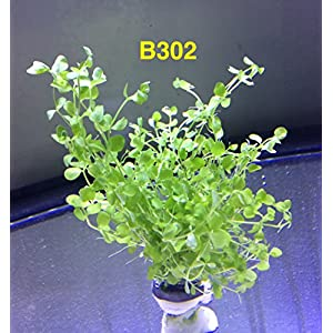 Micranthemum 'Monte Carlo' Bundle Aquatic Plant B302 ~ BUY 2 GET 1 FREE