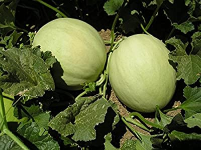 Heirloom Honeydew Melon Seeds by Stonysoil Seed Company