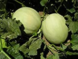 Heirloom Honeydew Melon Seeds by Stonysoil Seed Company