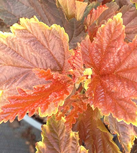 Physocarpus opulifolius Blasenspiere Little Angel/® 30-40cm
