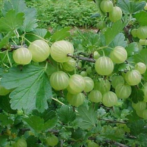 Pixwell Green Gooseberry Bush Favorite