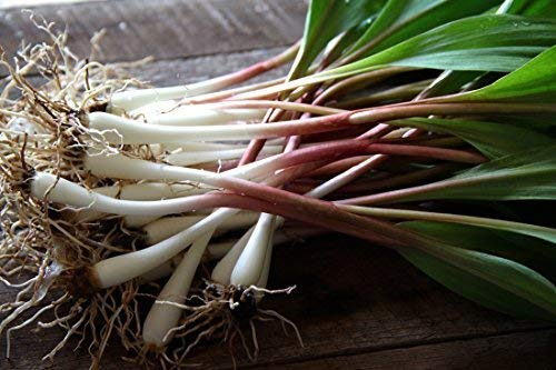 40 FRESH Wild Ramps / Leeks for cooking or replanting by The Wild Leek (Image #3)