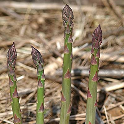Asparagus Jersey Knight, Perennial, Sow in Spring or Fall, 20 seeds : Garden & Outdoor
