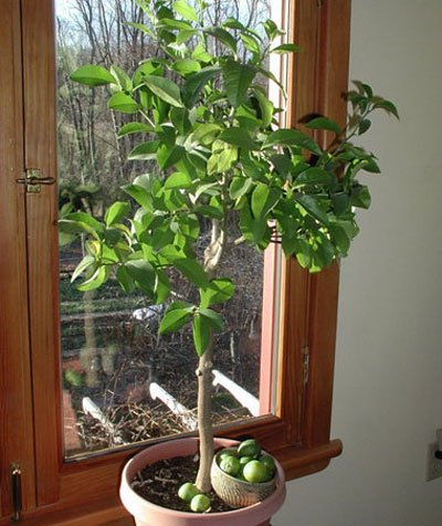 Key Lime Tree - Get Fruit in 1 year with Trees up to 3 ft. tall