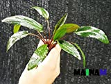 (Crypt Wendtii Green) Cryptocoryne Wendtii Stem Bundle Freshwater Live Aquarium Plants Decoration By Mainam