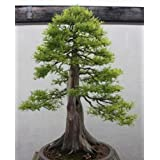 Metasequoia glyptostroboides - Dawn Redwood - Bonsai - 20 seeds