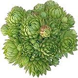 Sempervivum Jovibarba globifera subsp. allionii (4 inch pot)
