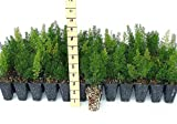 Foxtail Fern Myers Qty 72 Live Plants Groundcover Asparagus Densiflorus Myersii