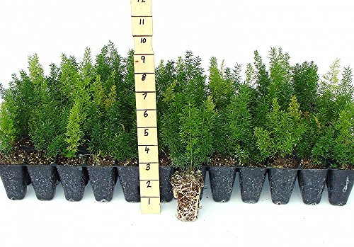 Foxtail Fern Myers Qty 72 Live Plants Groundcover Asparagus Densiflorus Myersii by Florida Foliage