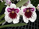 Miltoniopsis White Truffle 'Bright Eyes' white orchid red center