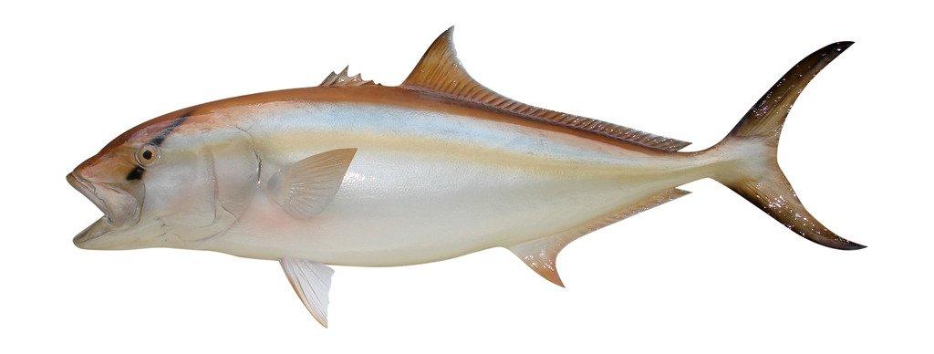 44 Amberjack Fish Mount Half Mount Fish Replica
