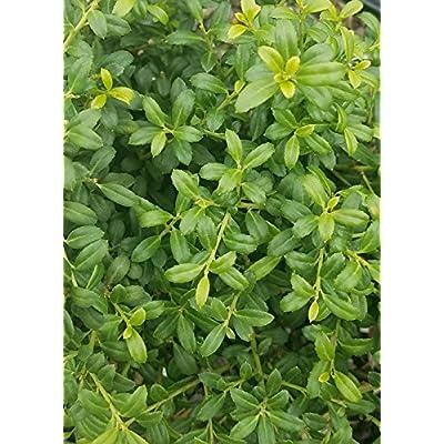 3 Gallon - Soft Touch Holly - (ilex creata) - Compact Dwarf Evergreen Shrub : Garden & Outdoor