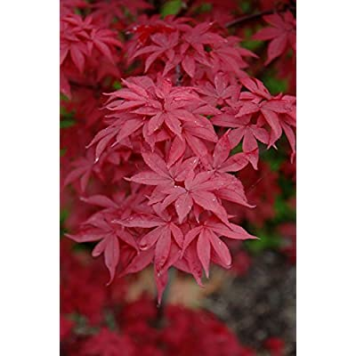 Twomblys Red Sentinel Japanese Maple 3 - Year Live Tree: Toys & Games