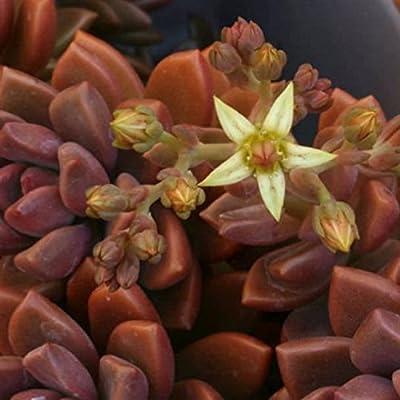 Graptosedum, Vera Higgins, Alpenglow Succulent Plant in 2 inch Pot : Garden & Outdoor