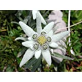 50 EDELWEISS Leontopodium Alpinum White Flower Seeds *Comb S/H