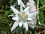 50 EDELWEISS Leontopodium Alpinum White Flower Seeds *Comb S/H