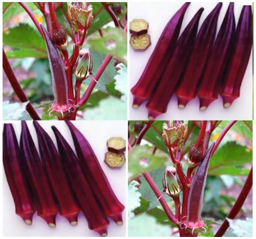 30 ORGANIC RED BURGUNDY Okra seeds ~ TURNS GREEN WHEN COO...